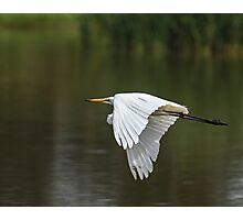 Egret In Flight Photographic Print