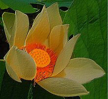 White Lotus flower orange centre by Marilyn Baldey