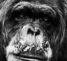 Old Man Chimp by Rick Bowden