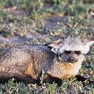 Bat-eared Fox by Nickolay Stanev