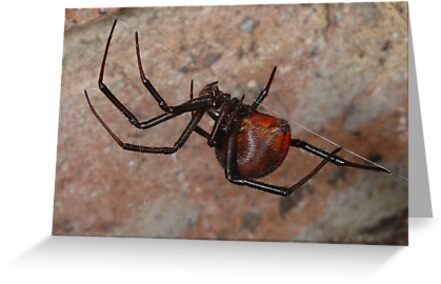 The infamous Aussie Redback Spider (2) by Trevor Needham