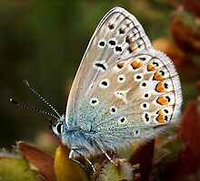 Common Blue by Roger Butterfield