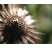 Ecchinecia Purple Coneflower Photographic Print