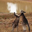 Boxing Kangaroos by sparrowhawk