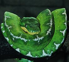 Emerald Tree Boa by 2Daphne