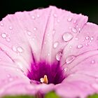 Waterdrops on a Petunia by DSwink