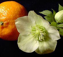 Christmas Rose (helleborus) with Satsuma by ruthmarler
