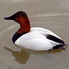 Canvasback Duck by Johnny Furlotte