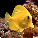 Yellow Tang by Johnny Furlotte