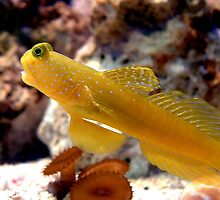 Yellow Watchman Goby by Johnny Furlotte
