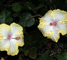 Hibiscus Flowers by Alwyn Simple