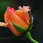 Orange Christmas Rose # 1 by Golden Richard