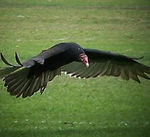 Turkey Vulture by Opal Westmoreland
