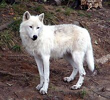 Arctic Wolf by Johnny Furlotte