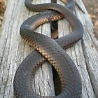Red belly black snake by Greg  Francis