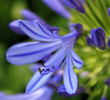 Shades of Blue and Purple by AlexMac