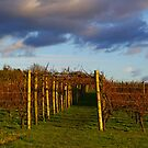 Vineyard at Sunset, Leeds Castle, Kent by Rebecca Silverman