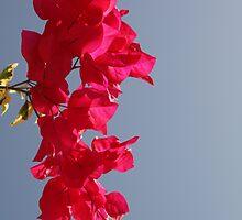 bougainvillea sky by John Ross