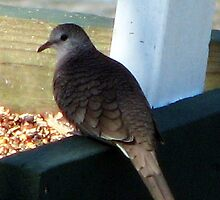 Inca Dove by DottieDees