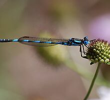 Blue River Damselfly. by Ian Berry