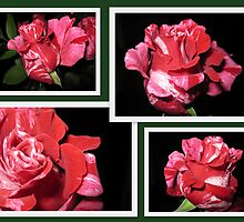 CANDY CANE ROSE COLLAGE 2 by tfm446