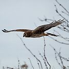 Northern Harrier by David Friederich