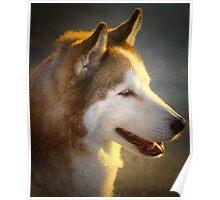 Portrait of a Husky Poster