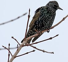 European Starling by lloydsjourney