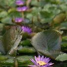A line of lotuses by BlairC