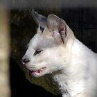 The Rare White Serval by David Lee Thompson