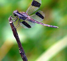 Dragonfly from Brazilian Savannah 1 by jcpatricio