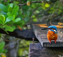 Common Kingfisher - Sri Lanka by David Clark