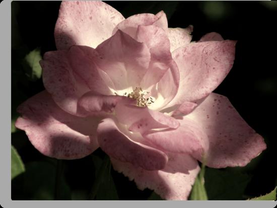 Pink petal beauty by Cricket Jones