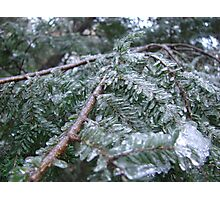 Ice Sheathed Pine Photographic Print