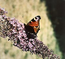 Butterfly on Buddleia by CjbPhotography