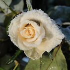 frozen rose 2 by jon  daly