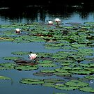 Squam Water Lillies by Wayne King