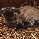 Lamb  by yampy