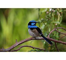 Superb Fairy Wren - Blue Cape Photographic Print