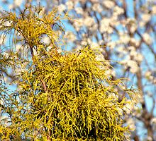 Golden Mop over Bradford Pear in Early Spring. by Paul Gitto