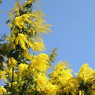 For the Festa della Donna: Mimosa (Acacia Dealbata) in spring-time Italy by Philip Mitchell