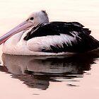 Pelican by Adam Spence