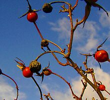 Rosehips by mantellpics