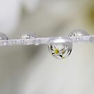 Daisy Drop by Renee Dawson