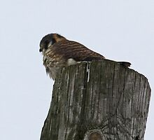 Perched Predator: American Kestrel by lloydsjourney