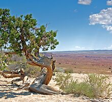 Juniper tree by John Wilchek