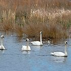 Tundra Swans by Eileen McVey