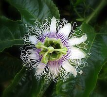Passion Fruit Flower by Robert Jenner