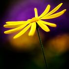 Yellow Daisy and Purple by KellyHeaton