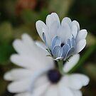 Daisy Baby by Catherine Davis